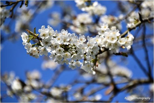 Les cerisiers en fleurs d'Itxassou #2