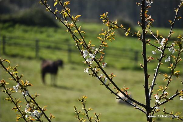 Les cerisiers en fleurs d'Itxassou #3