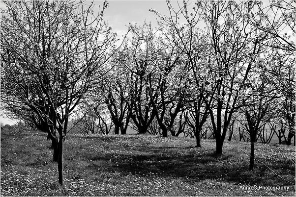 Les cerisiers en fleurs d'Itxassou #4