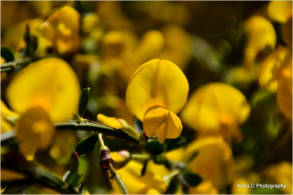 L'or végétal de la Bretagne