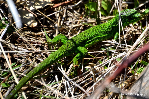The green lezard