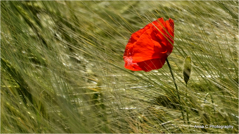 Poppy in the wind