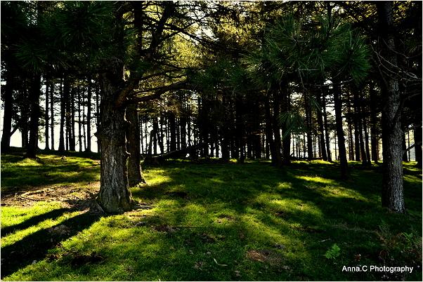 A l'ombre de la forêt de pins #2