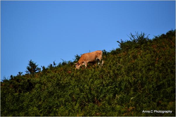 La vache Betizu