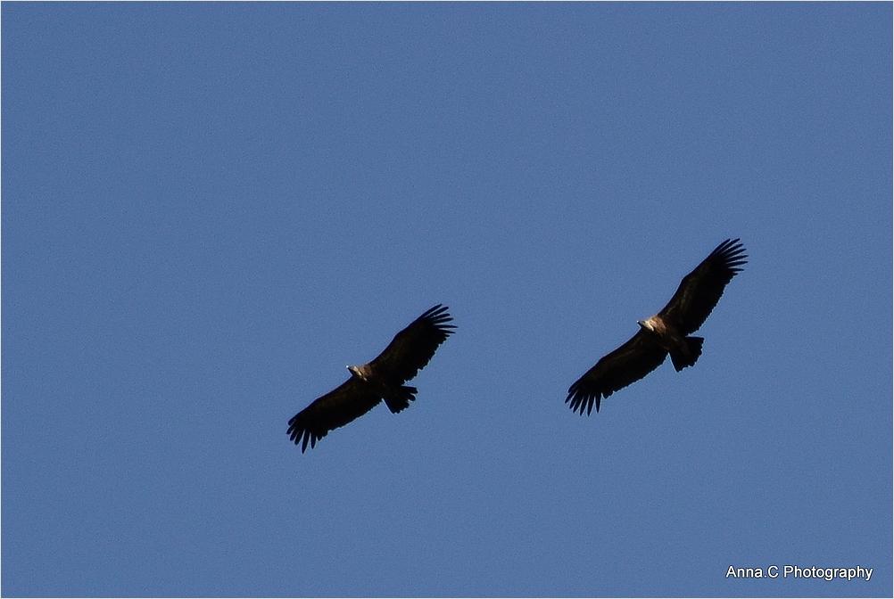Le vol des vautours