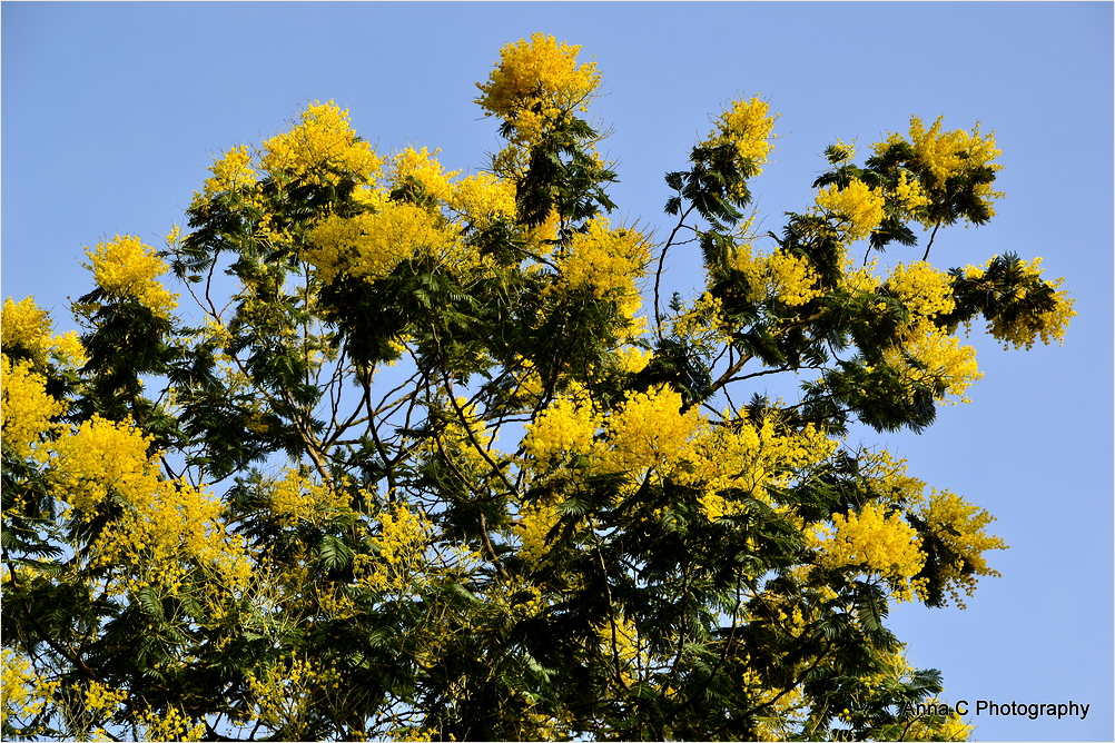 Le mois du mimosa