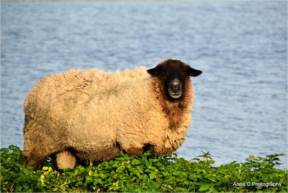 Le mouton à tête noire