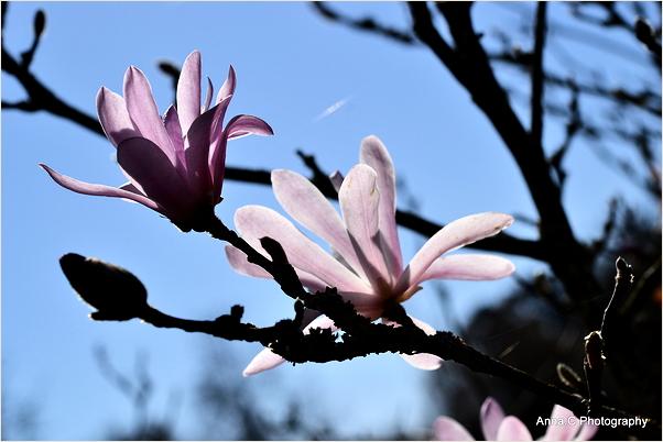 Magnolia forever 1/3