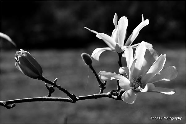 Magnolia forever 3/3