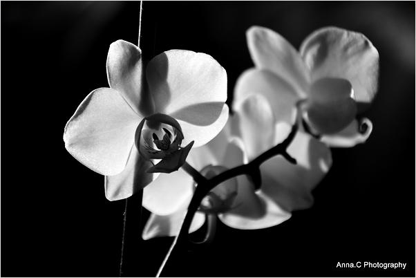 Orchidées confinées