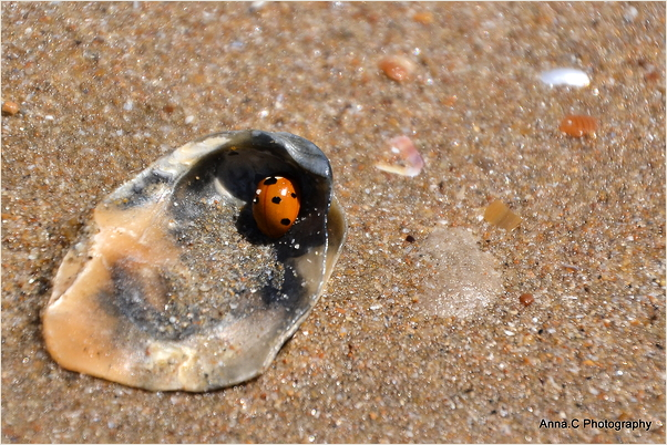 Coccinelle dans sa coquille