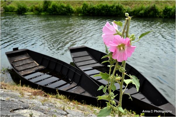Roses trémières et barques