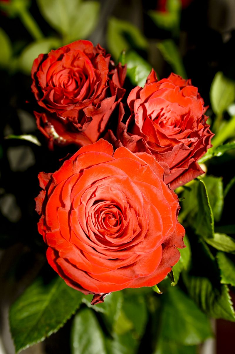 red roses, plants