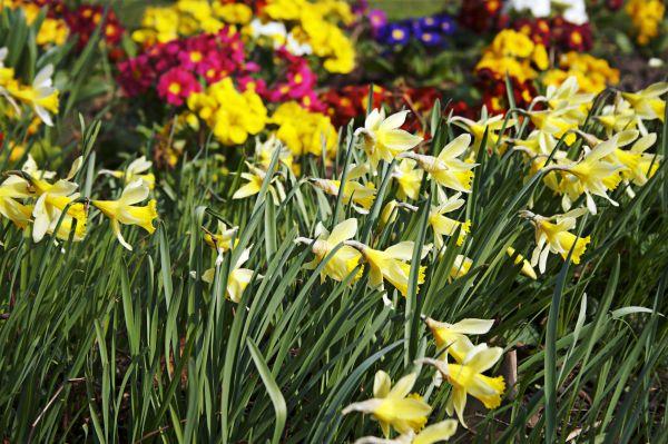 daffodil, Spring, birmingham cannon hill park