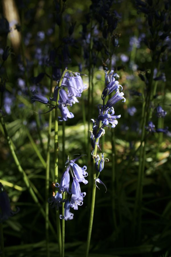 bluebells, clent hills, west midlands