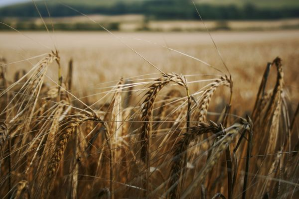 wheat, field, south downs