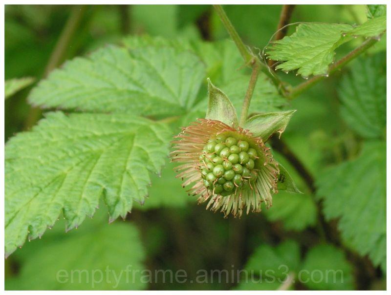 Alaska Wild Berry