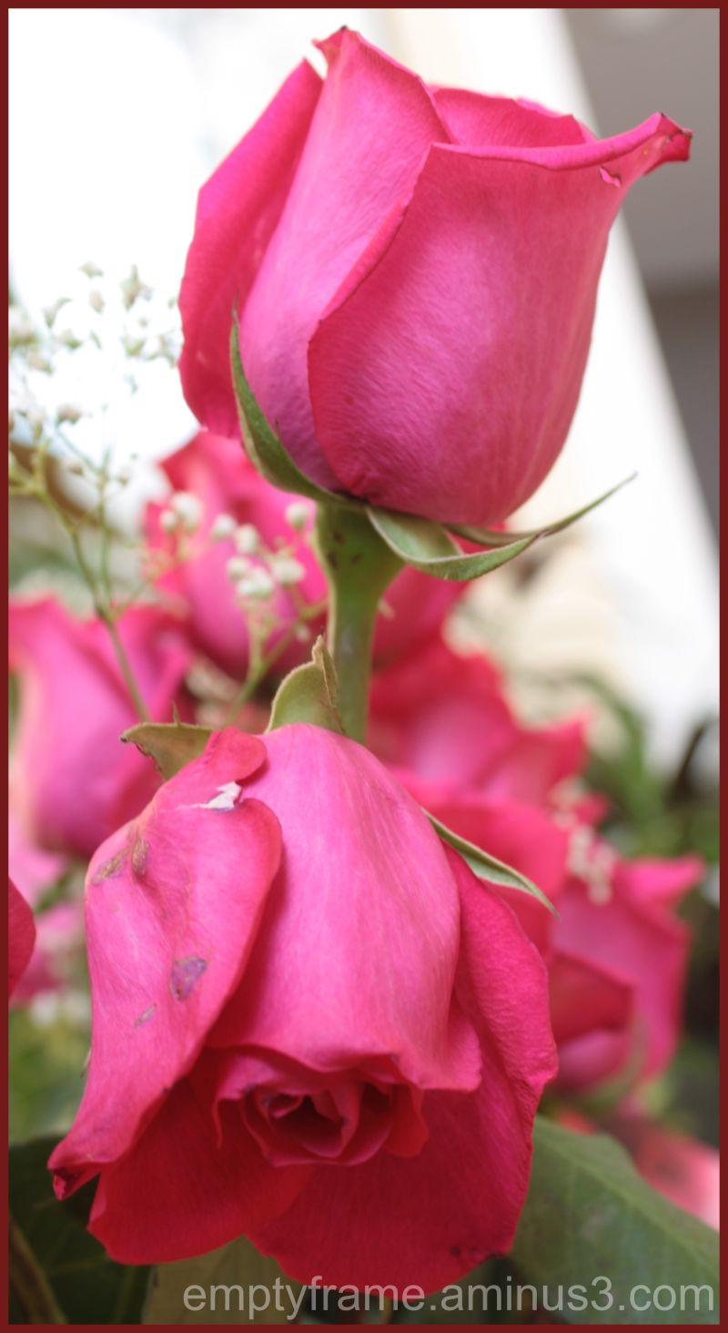 Roses for Valentine 2
