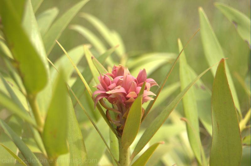 Fleur de brousse en Calédonie