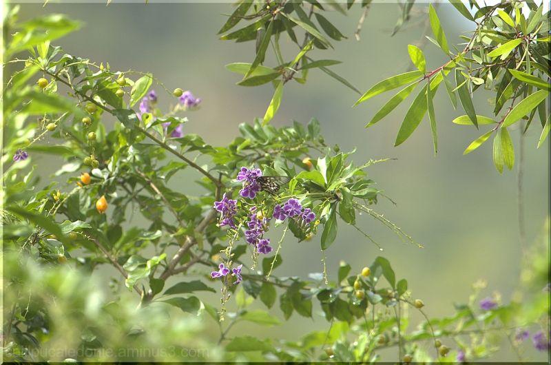 Papillon sur un Lilas de Perse en Calédonie
