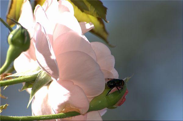 Abeille sur une rose en Calédonie