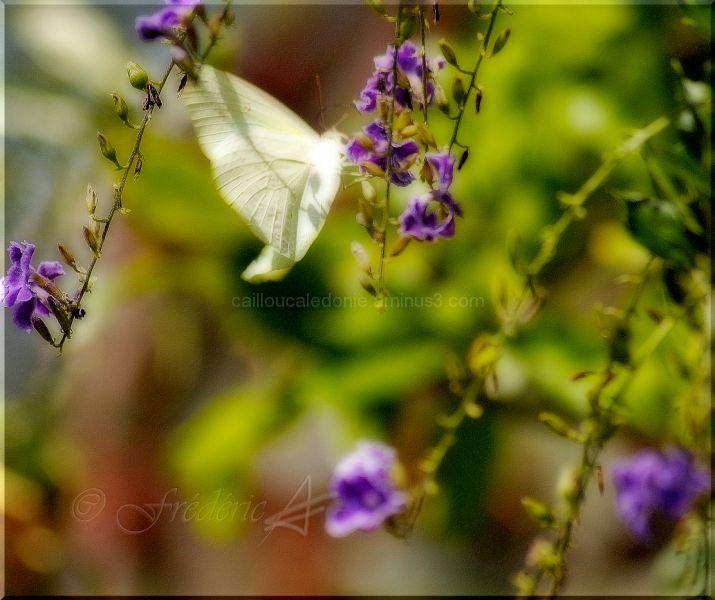 papillon jaune en Calédonie