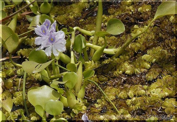 nature : jacinthe d'eau en Nouvelle Calédonie