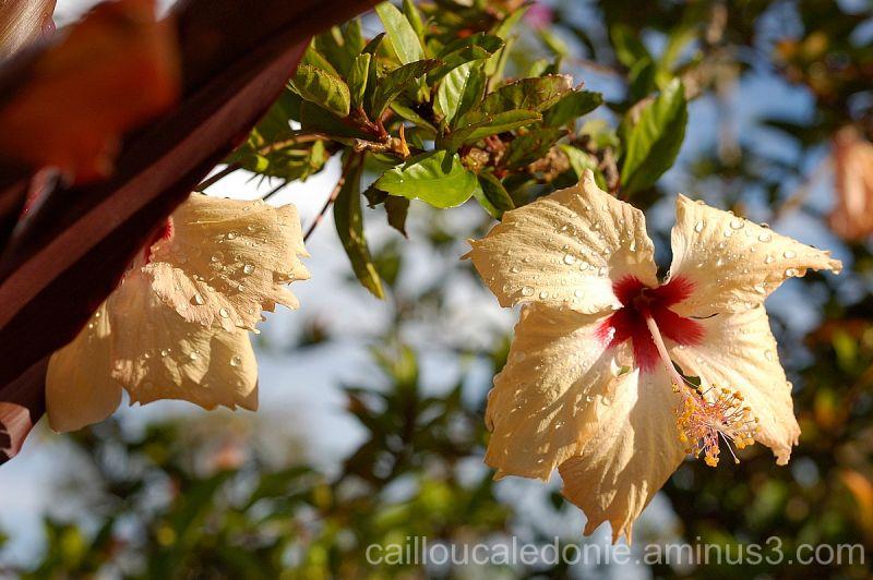 fleur d'hibiscus en Nouvelle Calédonie