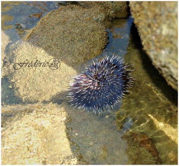 Oursin en mer de Corail
