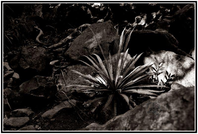 Fougère en noir et blanc sur un chemin calédonien