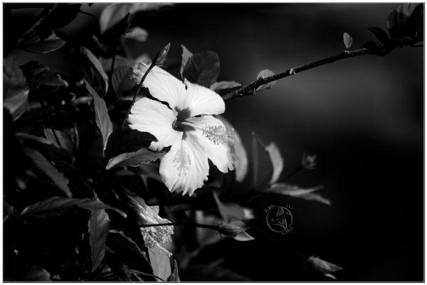 Fleur d'hibiscus en noir et blanc