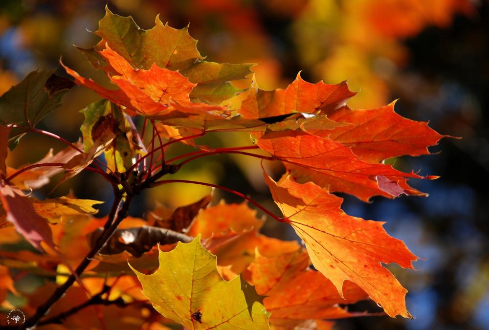 Symphonie automnale / Autumn Symphony