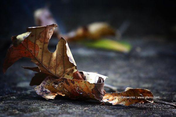 The Fallen Leaf