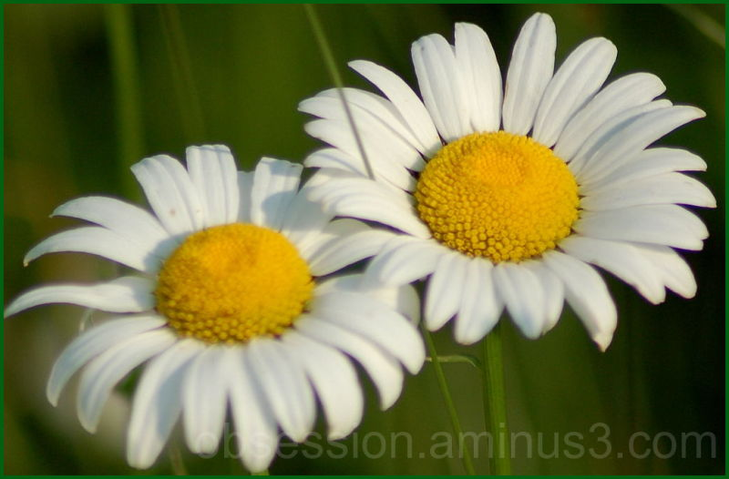 Study of Daisies 2