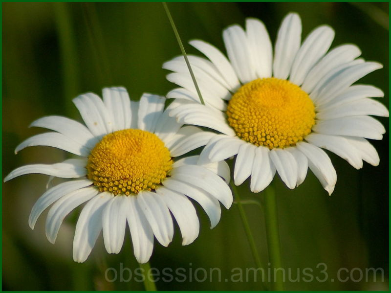 Study in Daisies 3