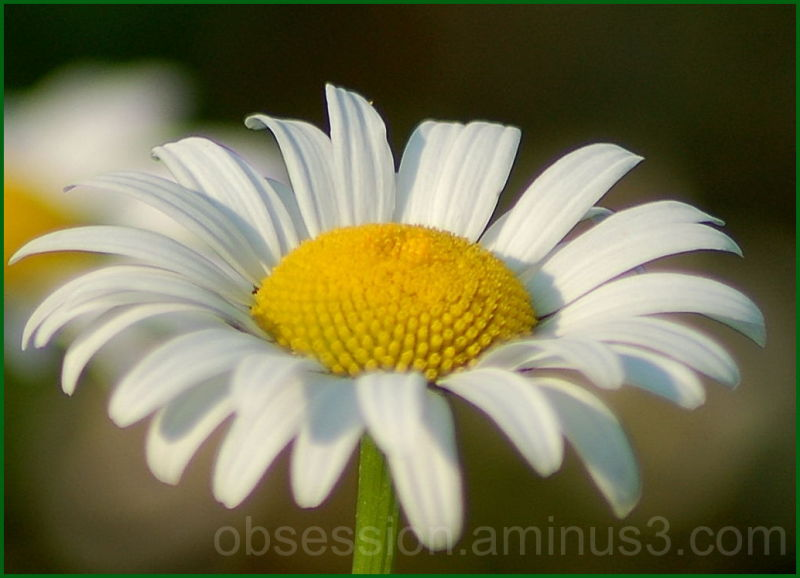 Study in Daisies conclusion
