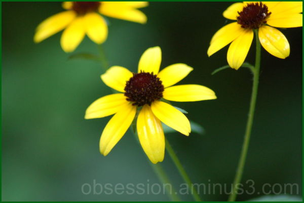 Wild Black-eyed-Susans
