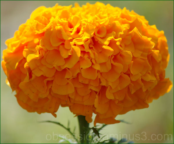 Marigold Mania