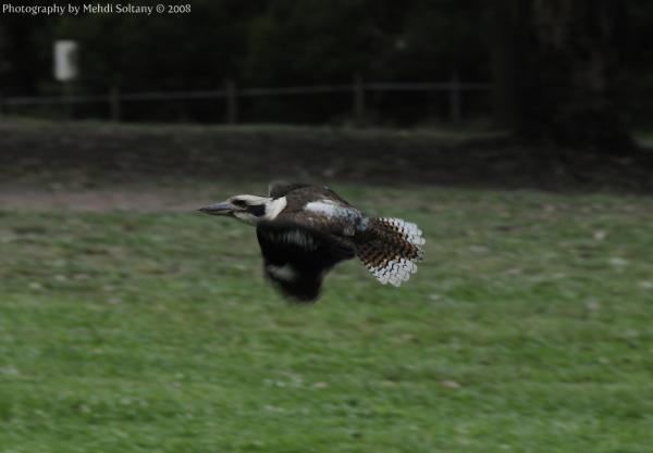 Kookoobara Flying