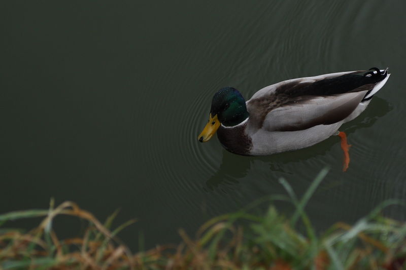 A duck on the Isis, Oxford, United Kingdom.