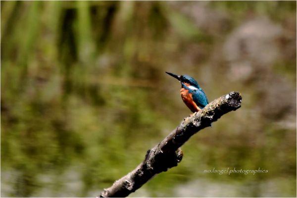 Le petit martin pêcheur