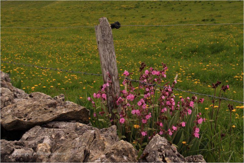 Petites fleurs de prairie