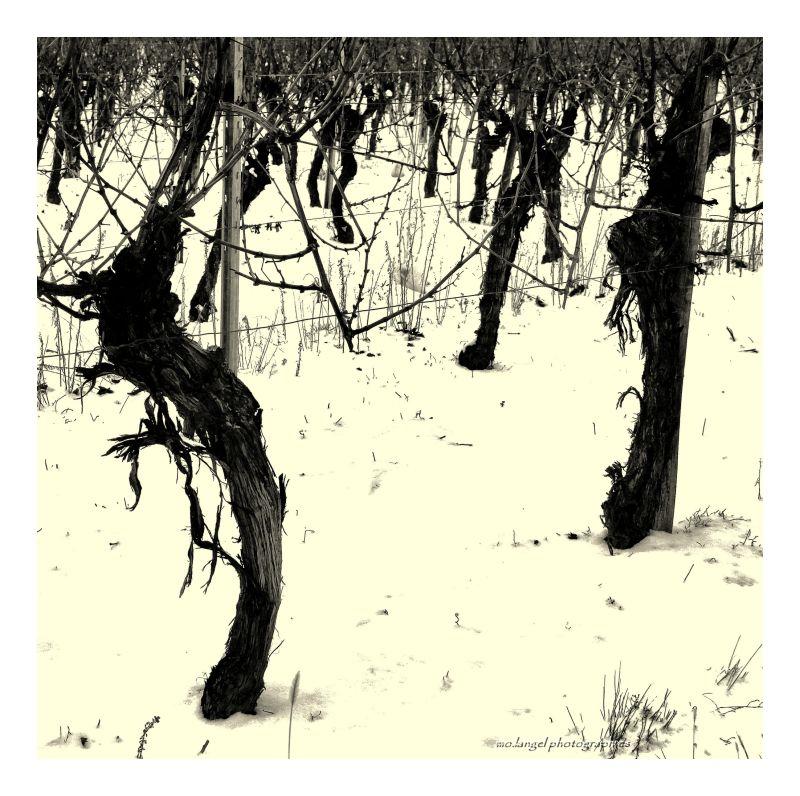 Vigne sous la neige