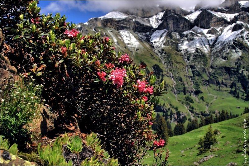 Parfum de rhododendron