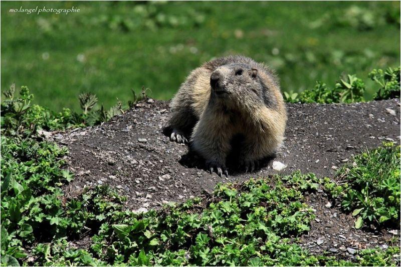 Petite marmotte printanière