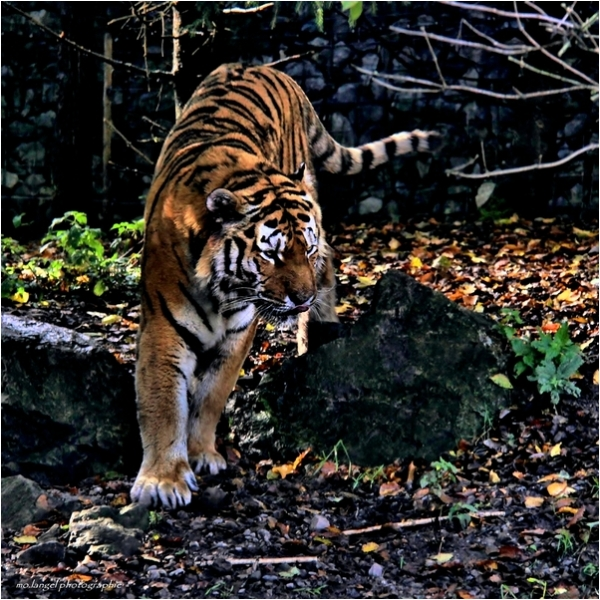 The Tiger #1