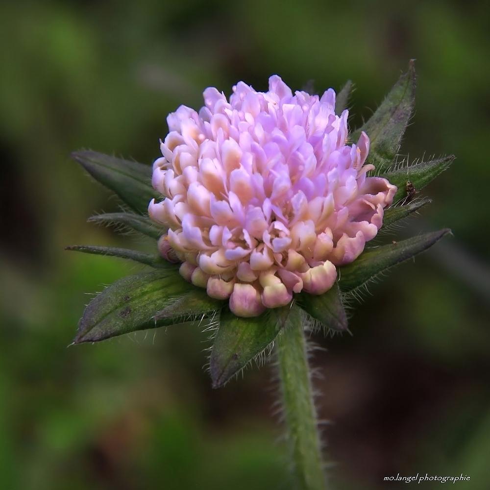 Petite fleur des champs