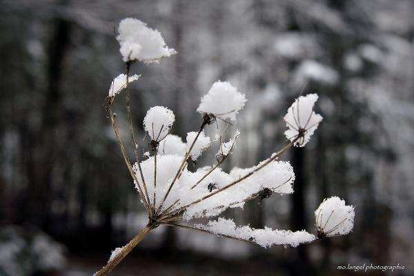 Fleur de neige