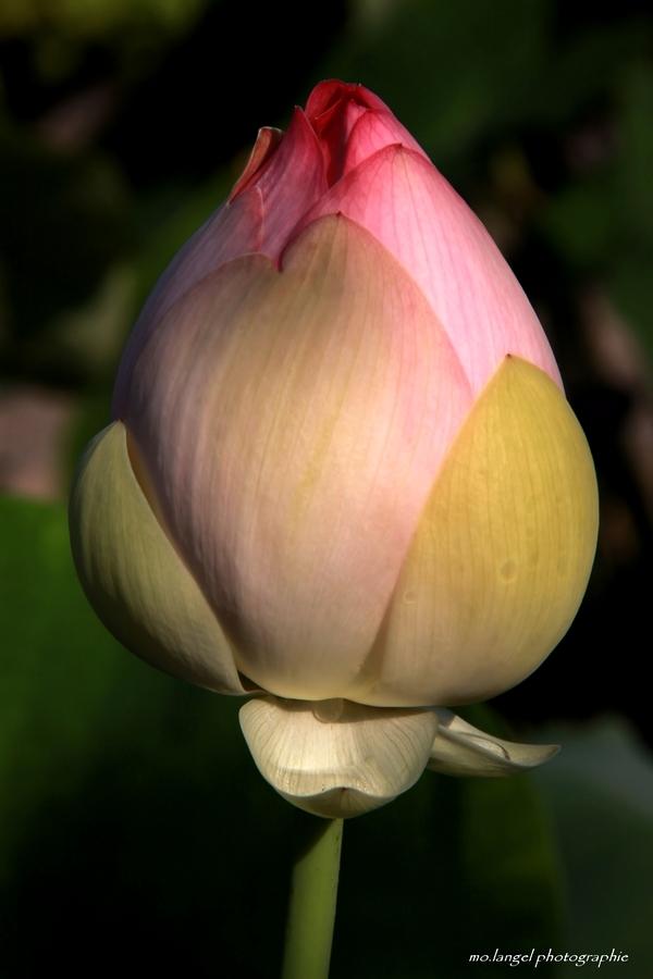 Bouton de lotus