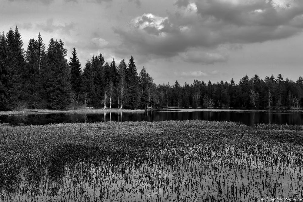 Les roseaux de l'étang